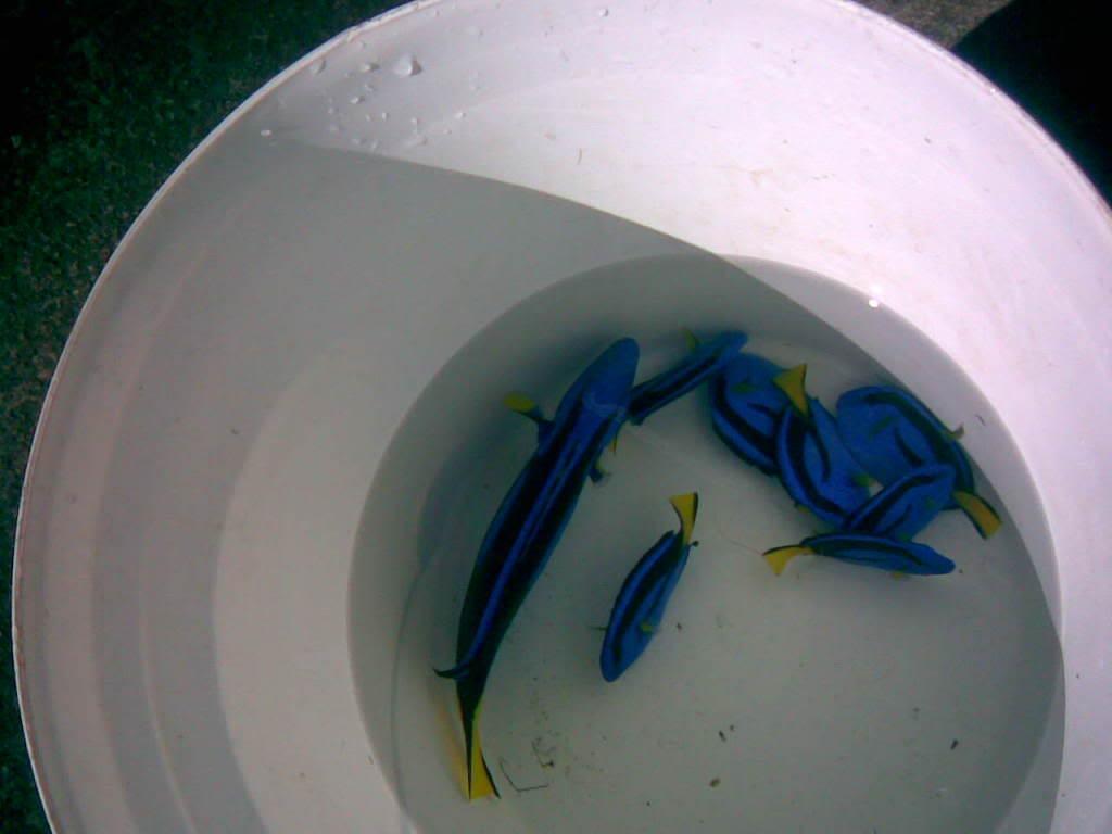 BtParacathurushepatus-Bluesurgeonfi.jpg
