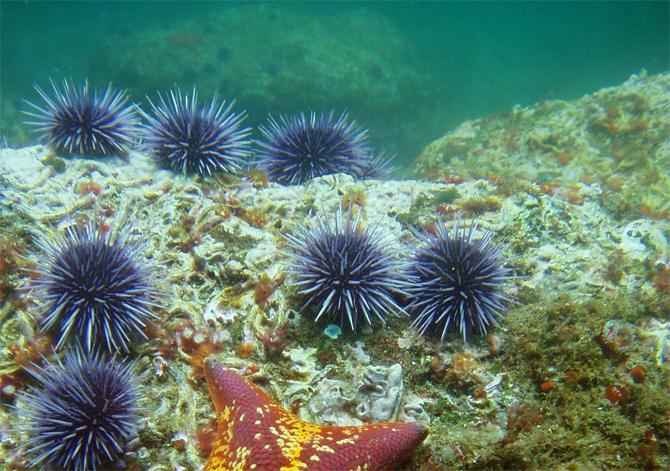 california-purple-sea-urchin.jpg