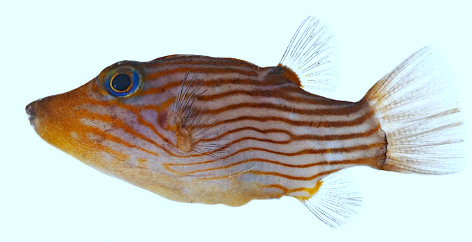 canthigaster-criobe.png