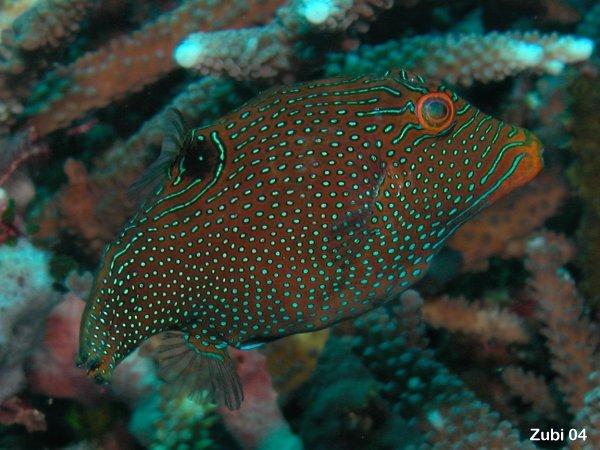Canthigaster-papua1.jpg