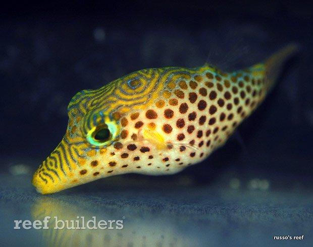 canthigaster-tyleri-puffer-6.jpg