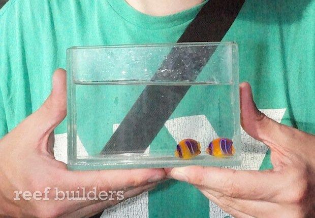 captive-bred-clarion-angelfish-bali.jpg