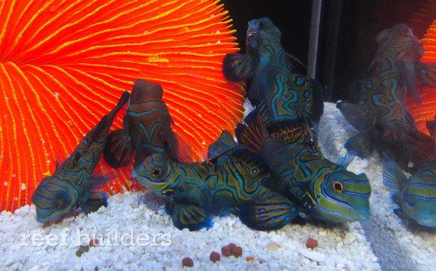 captive-bred-mandarin-gobies-1.jpg