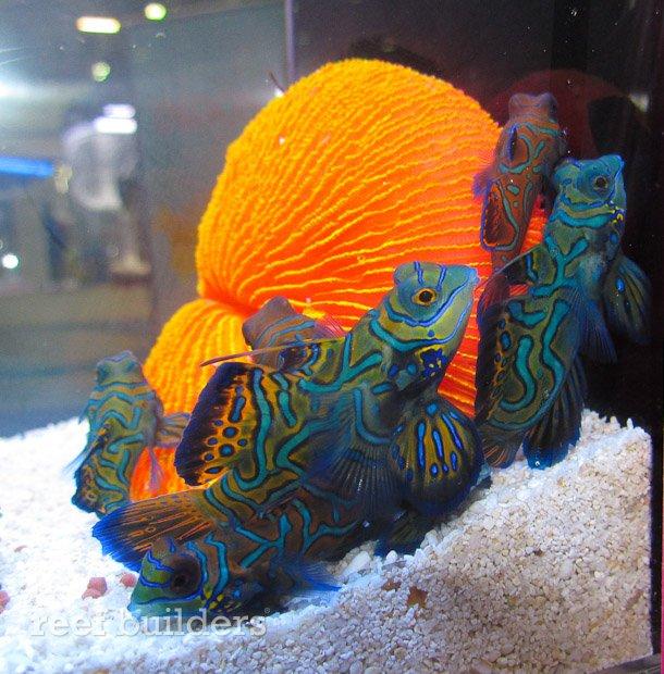 captive-bred-mandarin-gobies-5.jpg