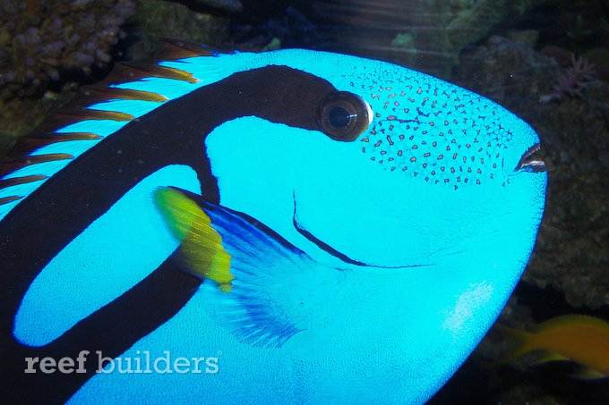 captive-bred-regal-blue-tang.jpg