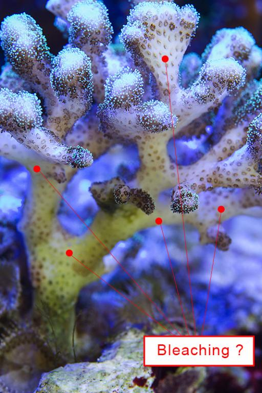 Cauliflower Coral 01.jpg