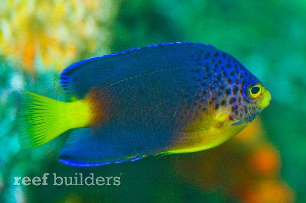 centropyge-debelius-angelfish-3.jpg