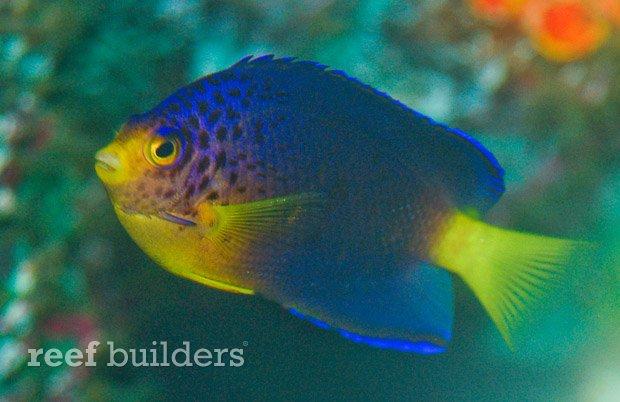centropyge-debelius-angelfish-4.jpg