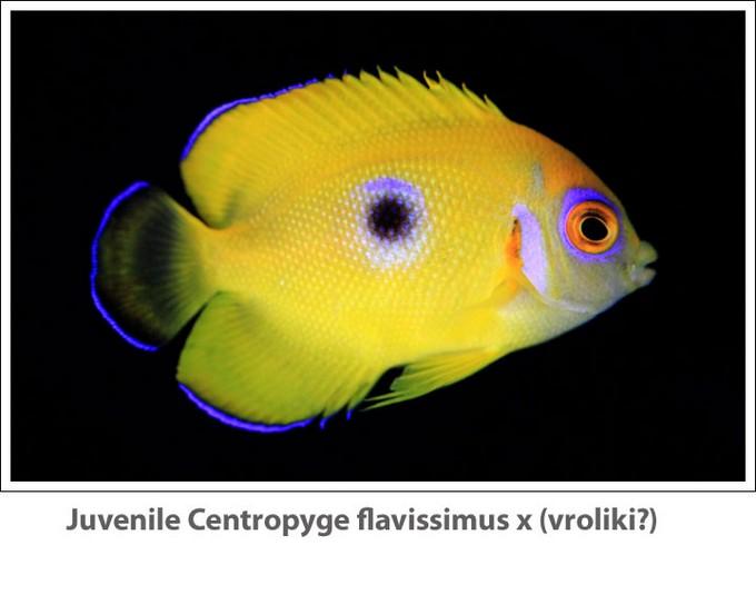 Centropyge-flavissimus-hybrid-1-Reef-Builders.jpg
