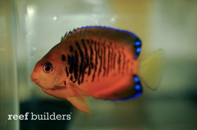 centropyge-shepardi-mango-angelfish-1.jpg