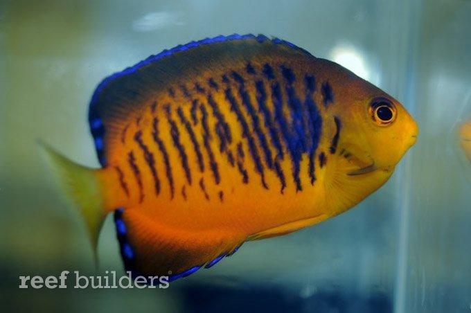centropyge-shepardi-mango-angelfish-2.jpg