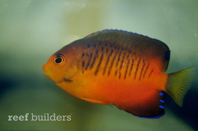 centropyge-shepardi-mango-angelfish-3.jpg