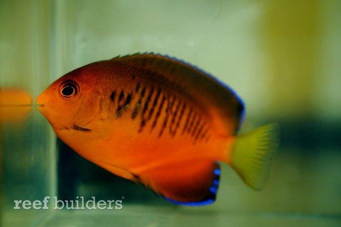 centropyge-shepardi-mango-angelfish-4.jpg