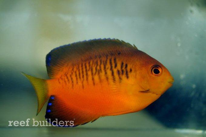 centropyge-shepardi-mango-angelfish-5.jpg