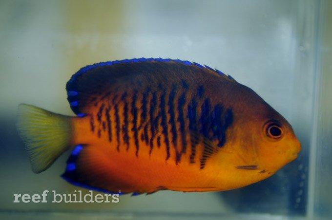 centropyge-shepardi-mango-angelfish-7.jpg