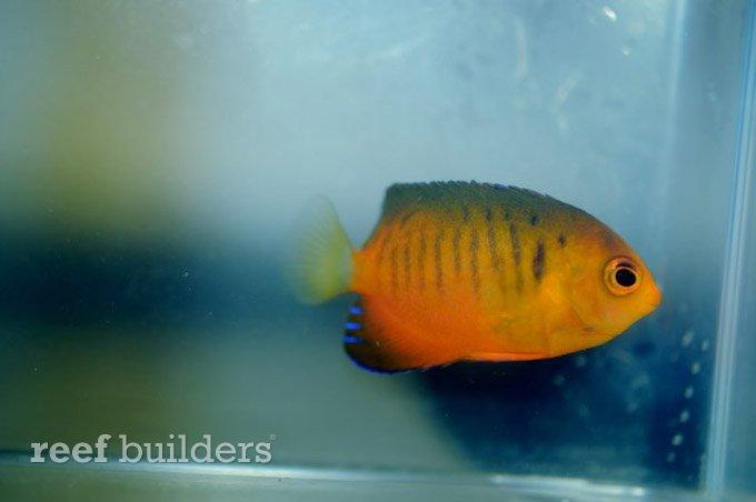centropyge-shepardi-mango-angelfish-8.jpg