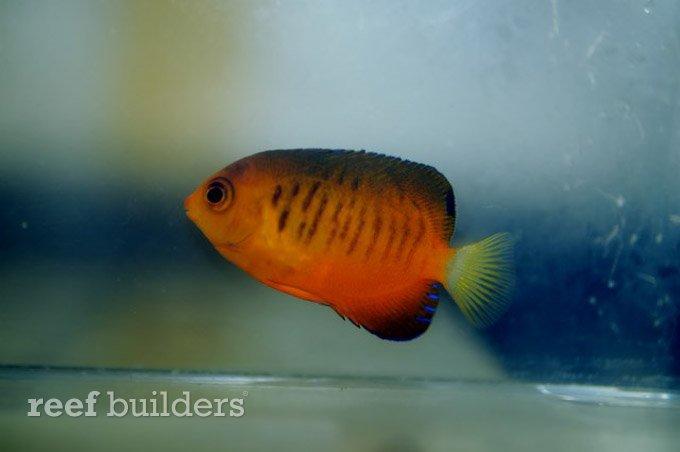 centropyge-shepardi-mango-angelfish-9.jpg