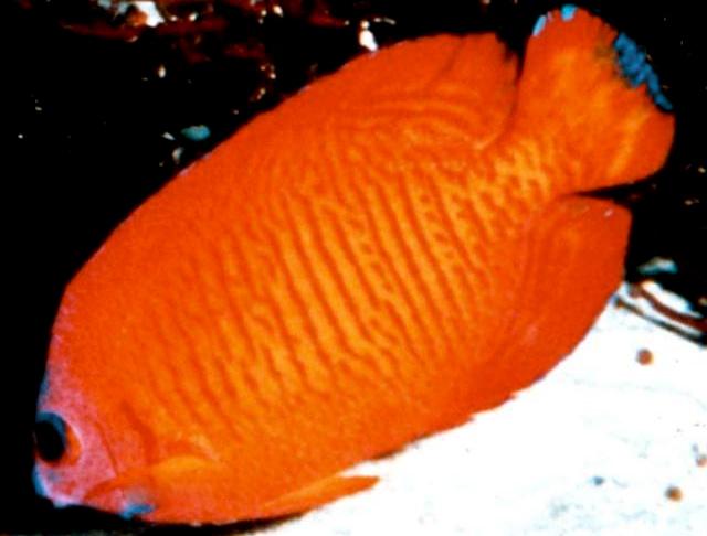 CentropygeBispinosaSamoa10c.jpg