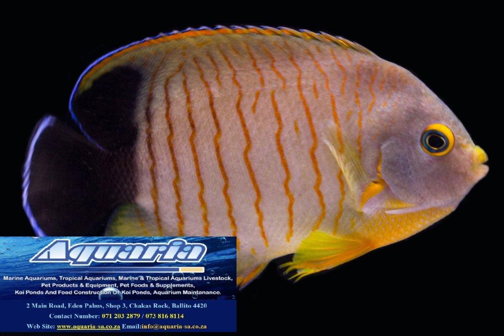 centropygeeiblieiblszwergkaiserfisch.jpg
