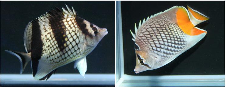 Chaetodon-argentatus-chaetodon-xanthurus.png