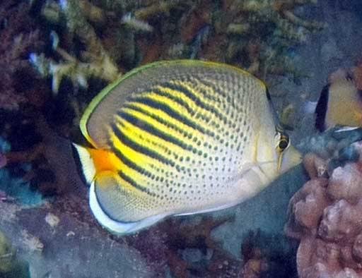Chaetodon-pelewensis.jpg