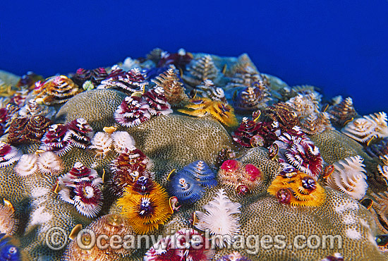 Christmas Tree Worm Ocean Wide Images Jpg