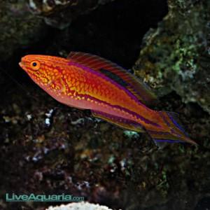 Cirrhilabrus-cf-lanceolatus_LA-300x300.jpg