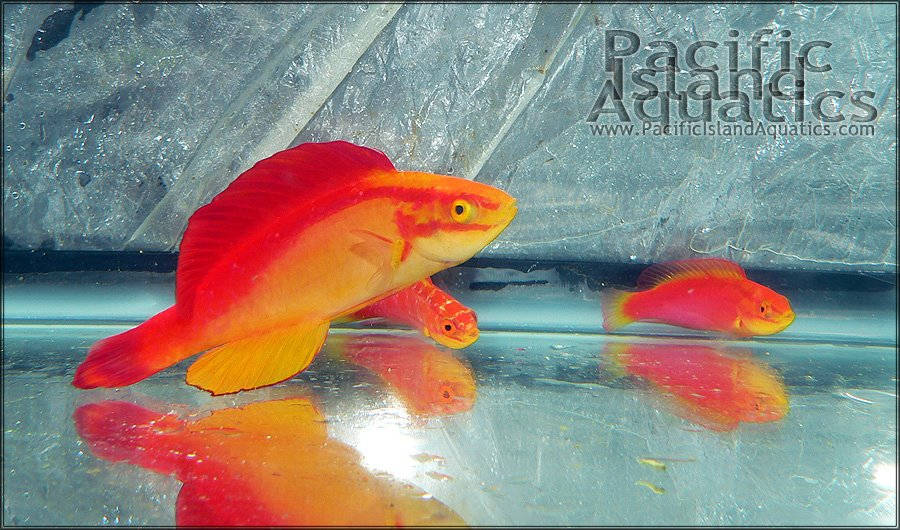 Experienced Aquarists Consider Safeguarding Broodstock Of Endemic