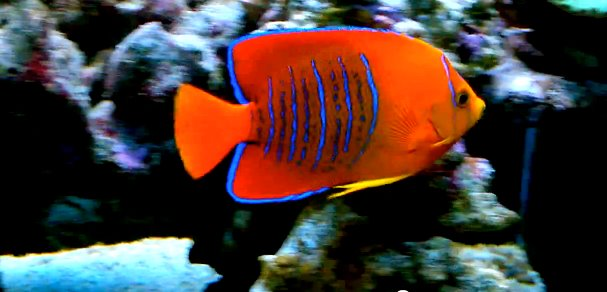 clarion-angelfish.jpg