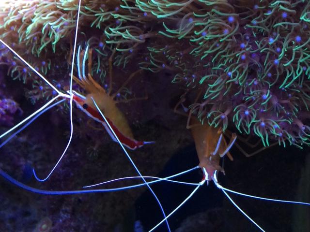 Cleaner shrimp.JPG