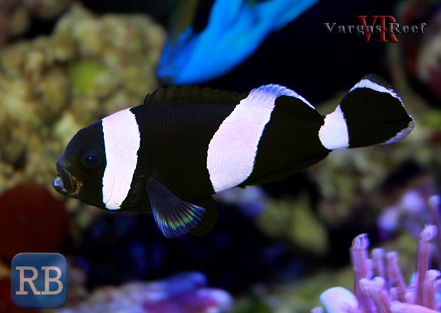 Clown-Fish-WM.jpg