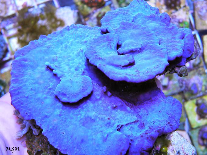 Collospongia-auris-blue-photo-sponge-2.jpg