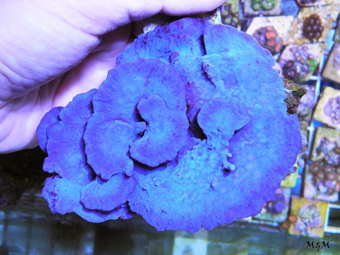 Collospongia-auris-blue-photo-sponge.jpg