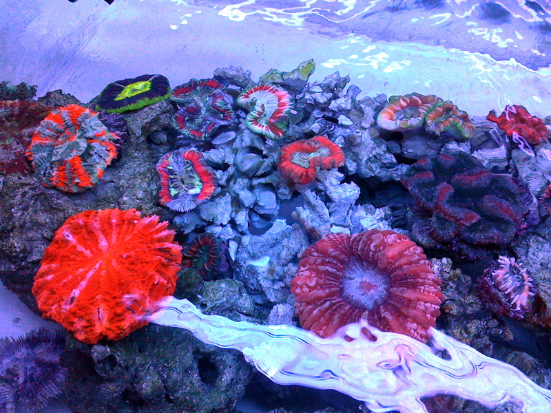 Colorful-LPS-corals-3.jpg
