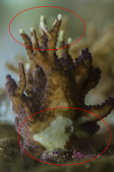Coral A 04.jpg