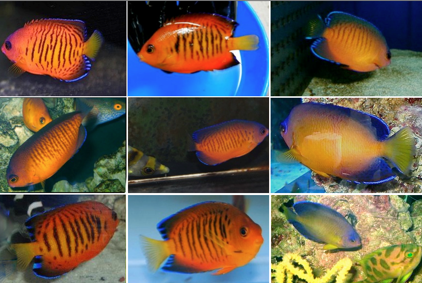 coral-beauty-hybrids.png