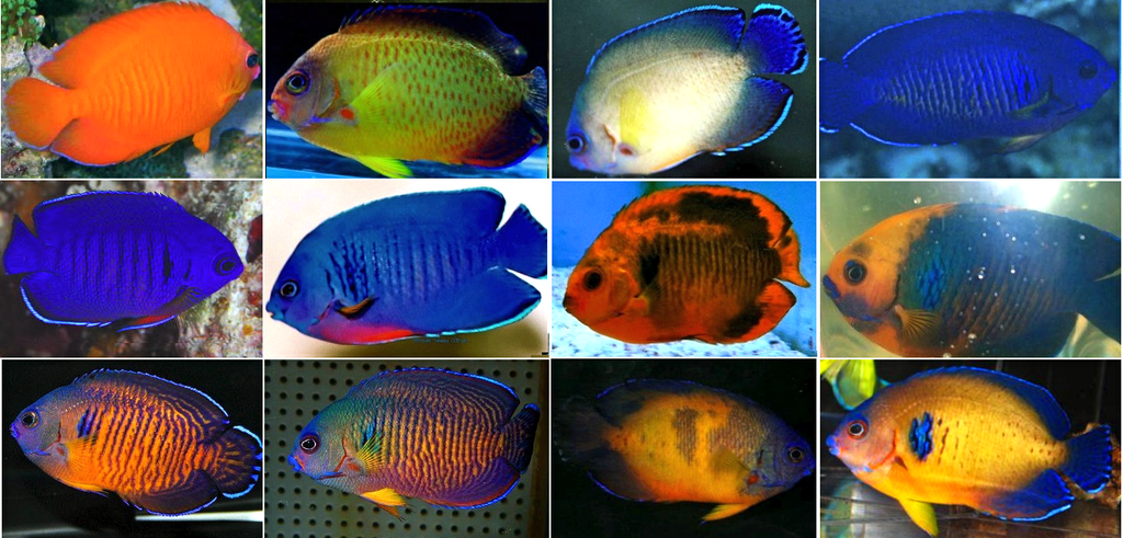 coral-beauty-morphs.png