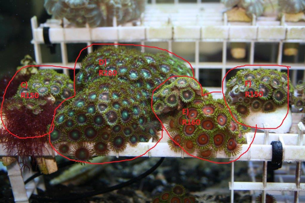 coral frags 339.jpg