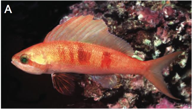 coral-sea-sailfin-anthias.png