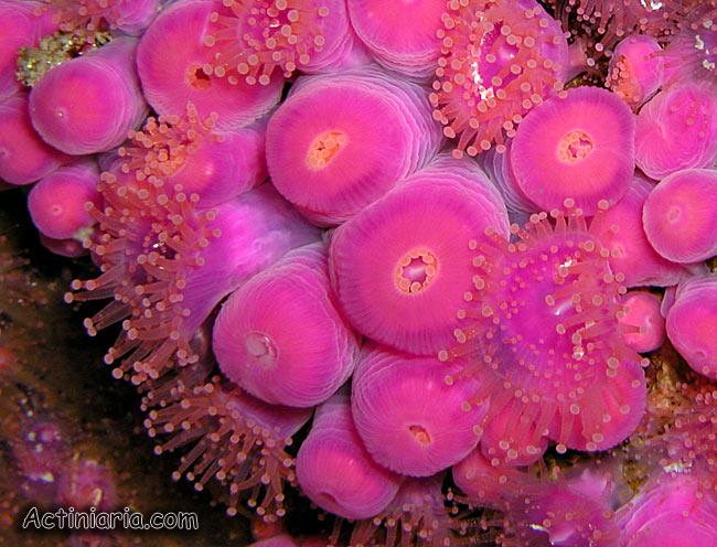 corynactis_viridis.jpg