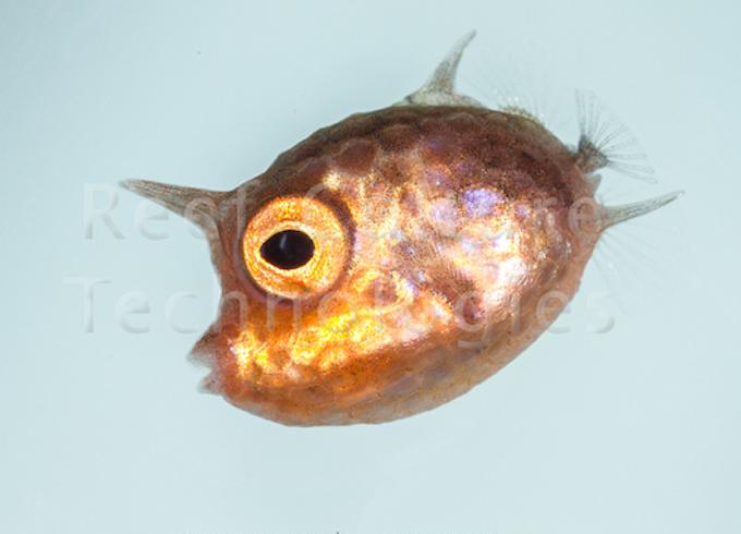 cowfish-larva.png