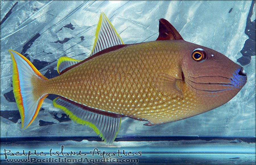 Reef central adult blue throat triggerfish