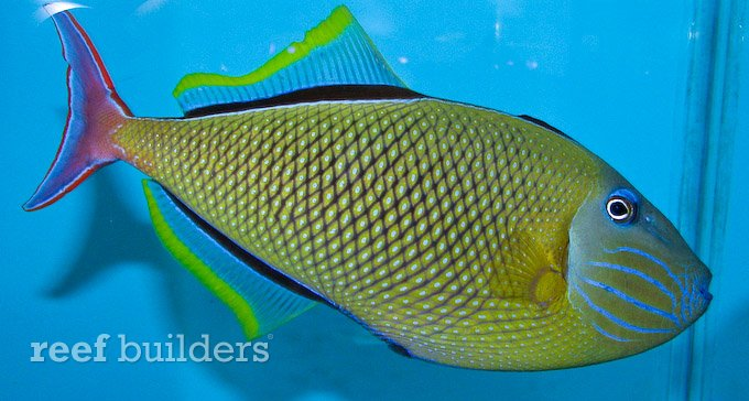 crosshatch-triggerfish.jpg