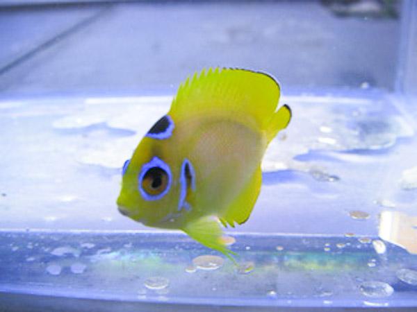 cyclops-lemonpeel-angelfish-1.jpg