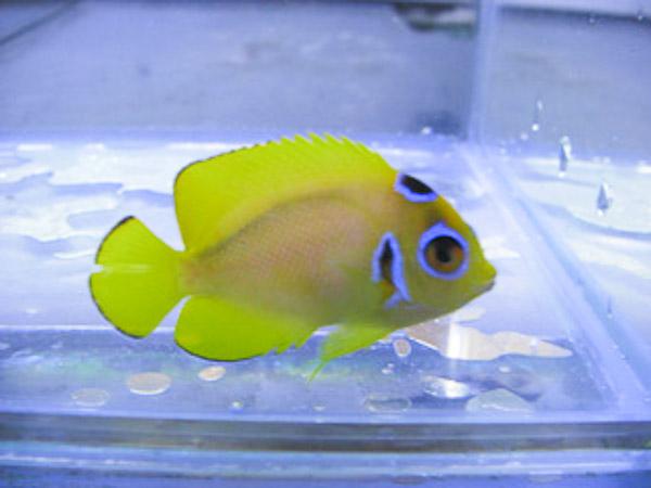 cyclops-lemonpeel-angelfish-2.jpg