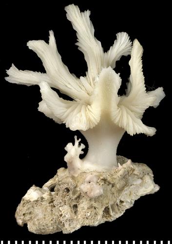 dactylotrochus-cervicornis.png