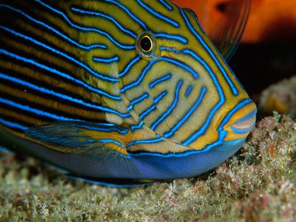 dangerous01-surgeonfish_16651_600x450.jpg