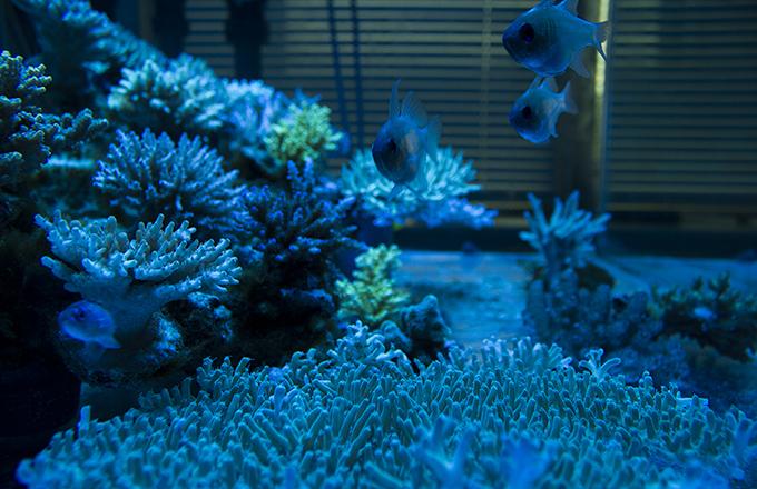 Deepwateracropora.jpg