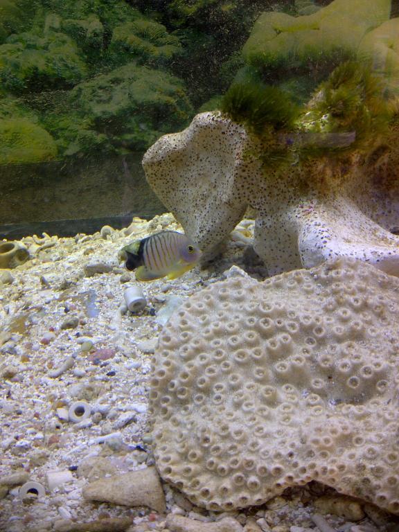 dwarf angel fish.jpg