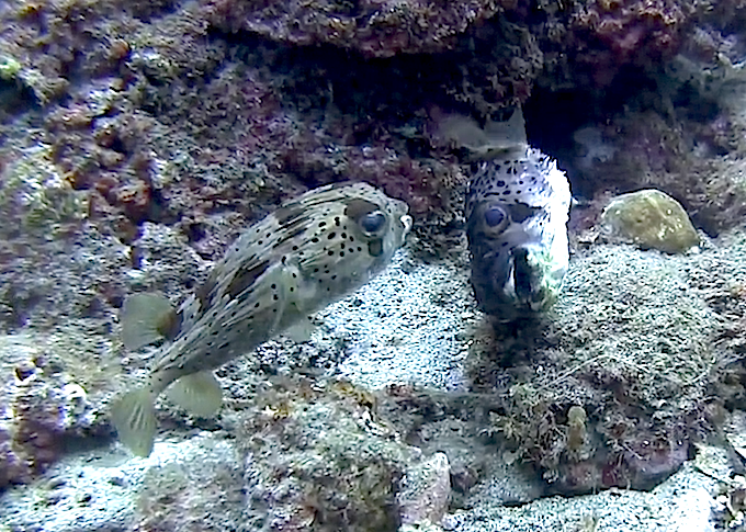 dying-porcupinefish.png